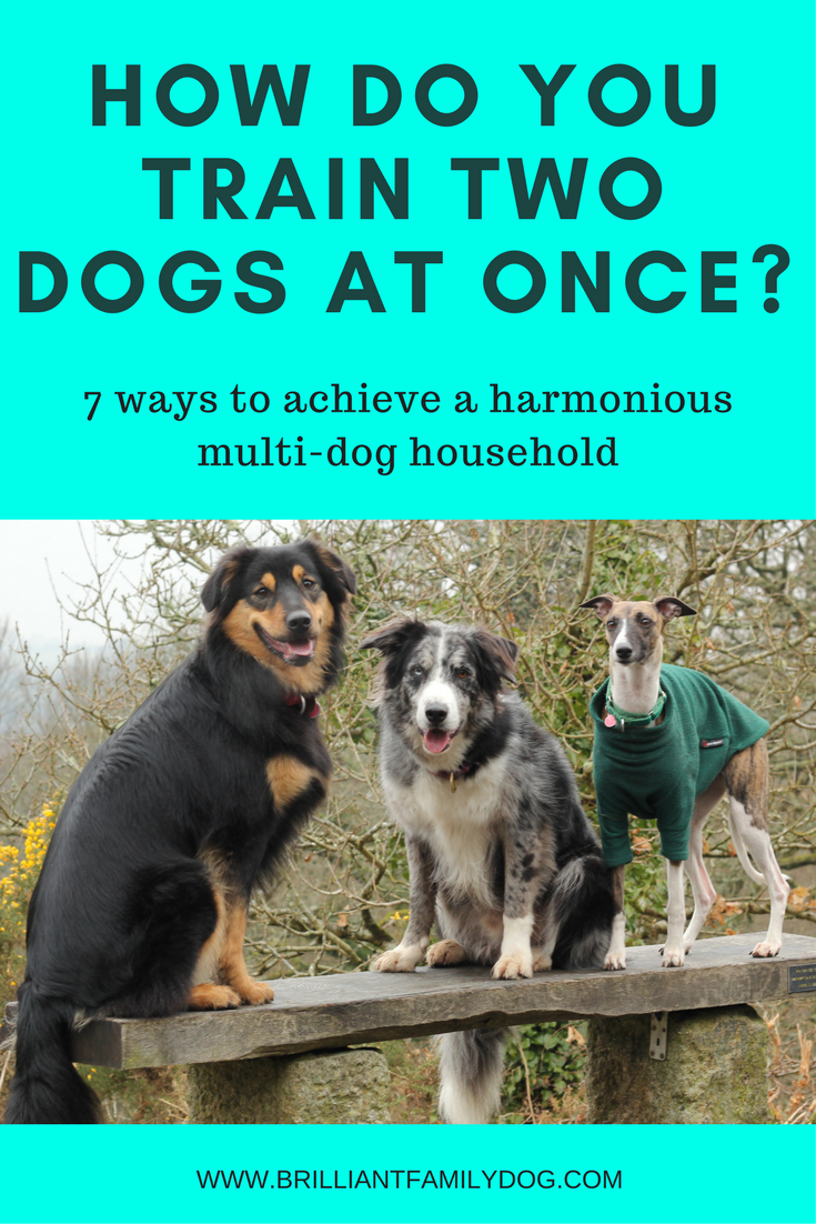 Dog training, new puppy, puppy training, dog behavior | How do you train two dogs at once? 7 steps to a harmonious multi-dog household | FREE EMAIL COURSE | #newpuppy, #dogtraining, #puppytraining, #dogbehavior | www.brilliantfamilydog.com