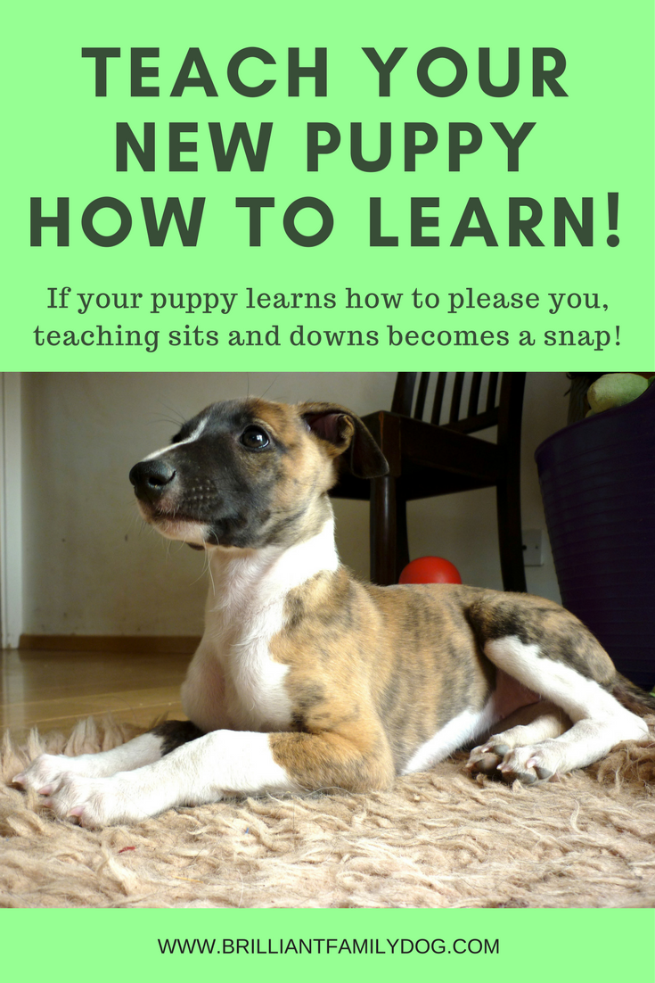 Puppy, New puppy, Puppy training, Choosing a puppy | Teach your puppy how to LEARN and make life easier for both of you | FREE EMAIL COURSE | #newpuppy, #dogtraining, #puppytraining | www.brilliantfamilydog.com