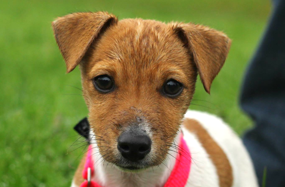 Pixie terrier closer.png