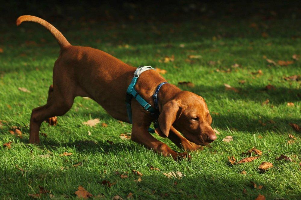 Watson chases leaves.jpg