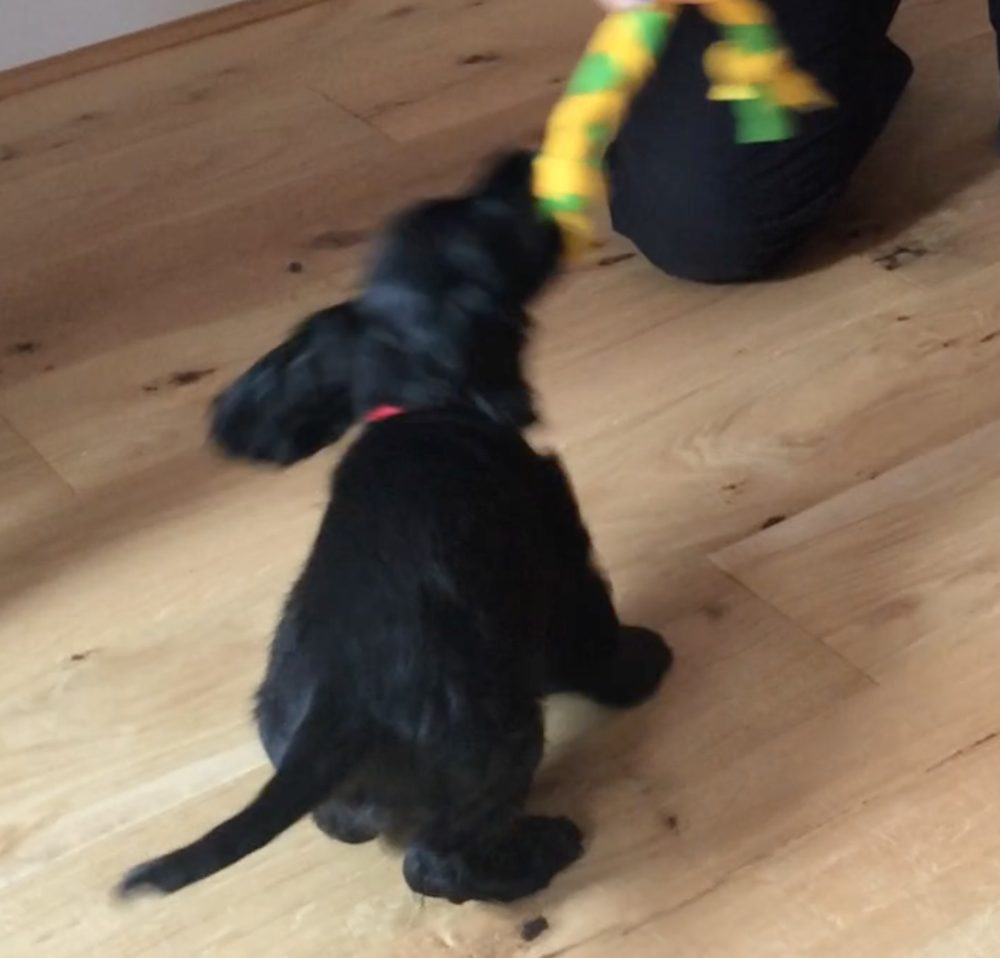 10-week-old Loki learns to tug with all his might!