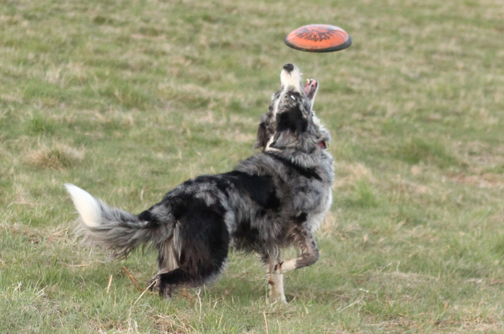 Rollo waits for his frisbee to drop into his mouth