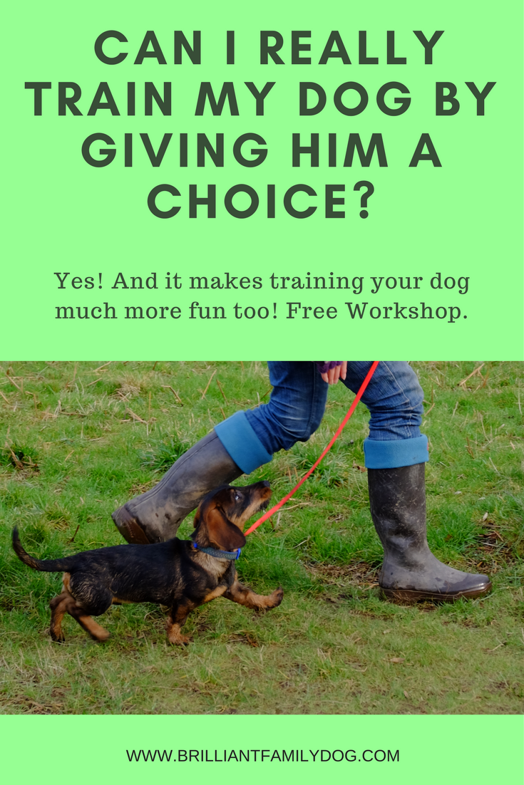 Dog training, new puppy, puppy training | Training your dog a choice is much easier and more effective than you may have thought | FREE EMAIL COURSE | #newpuppy, #dogtraining, #newrescuedog, #puppytraining, #dogbehavior | www.brilliantfamilydog.com