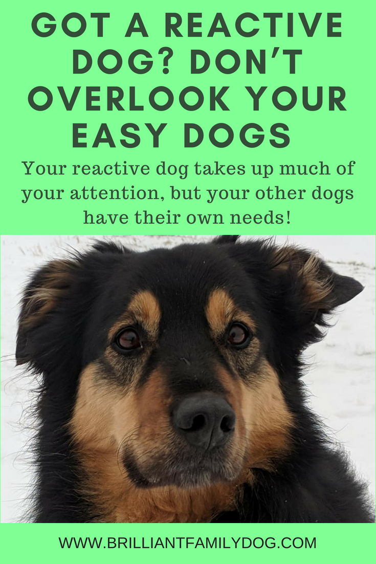 How does your reactive dog impact the rest of your doggy family? You need to ensure you give each dog in a multi-dog household just what he or she needs | FREE EMAIL COURSE | Reactive dog, problem dog, fearful dog, dog behavior | #problemdog, #reactivedog, #dogtraining, #growlydog | www.brilliantfamilydog.com