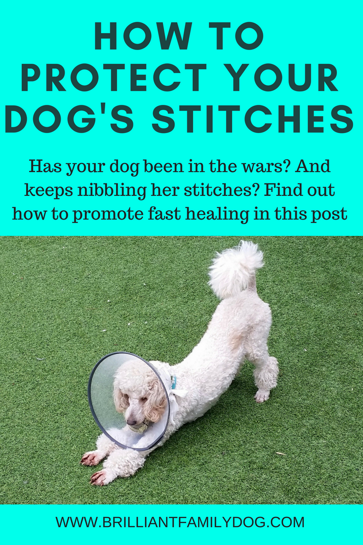 Is your dog injured? And nibbling his stitches? You have to protect the wound to promote healing, but there are many ways to do this! | FREE EMAIL COURSE | dog training, dog health | #doghealth, #dogbehavior, #dogscratching | www.brilliantfamilydog.com