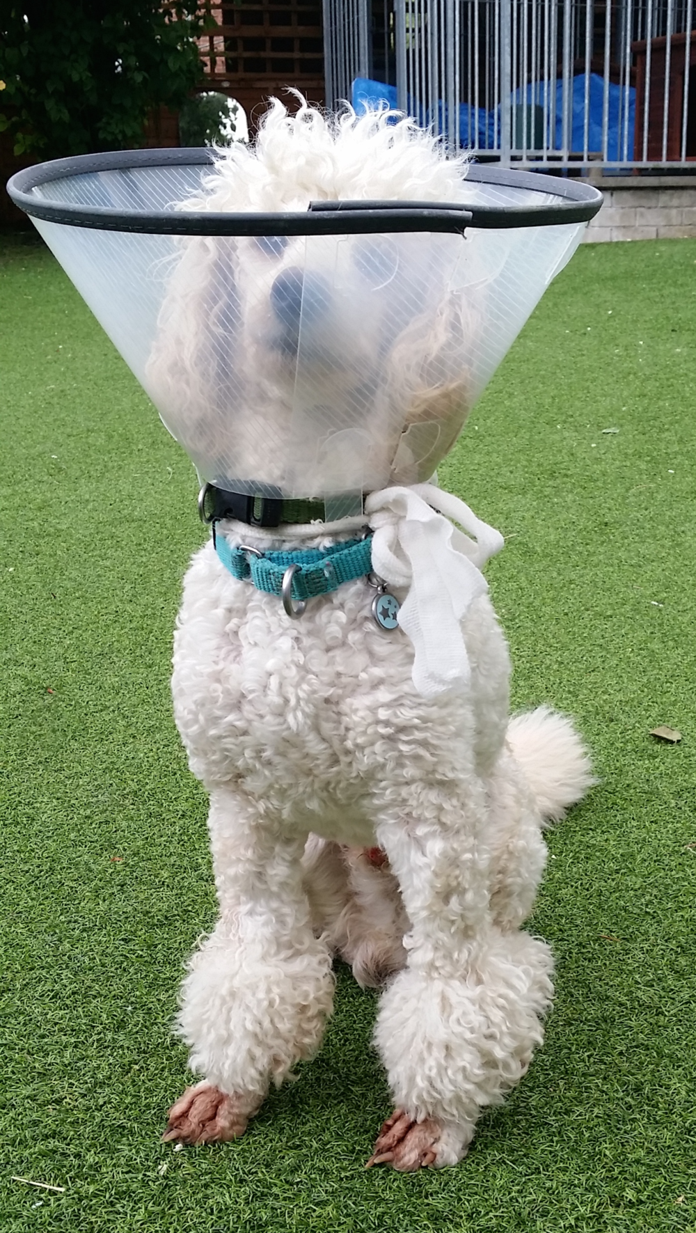 Coco looks like Buzz Lightyear in his bonnet! You have to protect the wound to promote healing, but there are many ways to do this | FREE EMAIL COURSE | dog training, dog health | #doghealth, #dogbehavior, #dogscratching | www.brilliantfamilydog.com