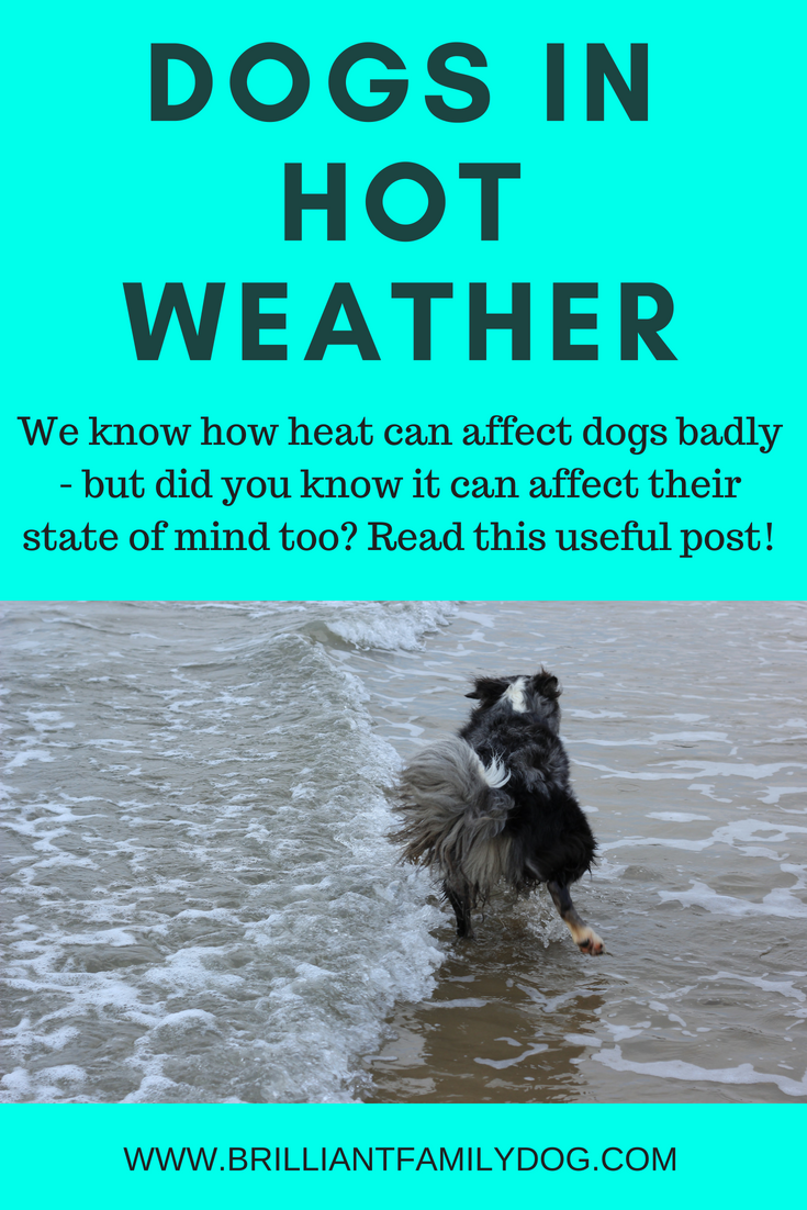 How does heat affect your dog? We all know not to leave a dog in a car - but have you thought how the heat can affect his psyche? Read this post for some eye-openers! | FREE VIDEO WORKSHOP | #anxiousdog #dogtraining, #newrescuedog, #puppytraining, #dogbehavior, #heatindogs, #cooldog | www.brilliantfamilydog.com
