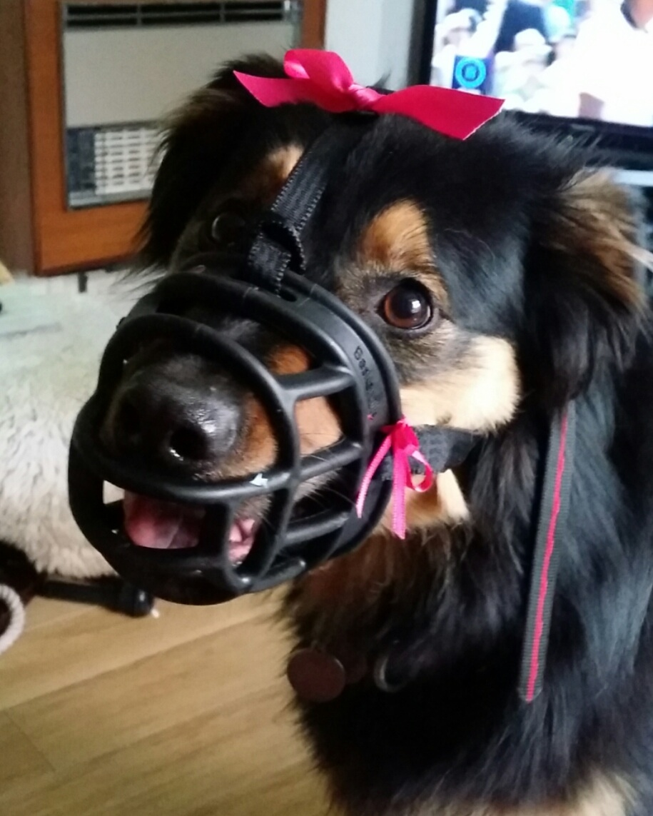 Should I muzzle my dog? I'm worried that people will think my dog is aggressive and I'm a bad dog-owner! Find out here how to teach your dog to love wearing a muzzle | FREE EMAIL COURSE | #aggressivedog, #reactivedog, #dogtraining, #growlydog, #dogmuzzle, #dogmuzzletraining | www.brilliantfamilydog.com