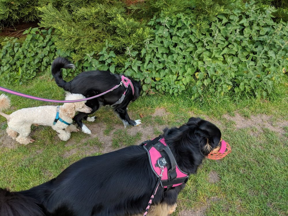 Your muzzled dog will be able to enjoy group walks again! Find out here how to teach your dog to love wearing a muzzle | FREE EMAIL COURSE | #aggressivedog, #reactivedog, #dogtraining, #growlydog, #dogmuzzle, #dogmuzzletraining | www.brilliantfamilydog.com