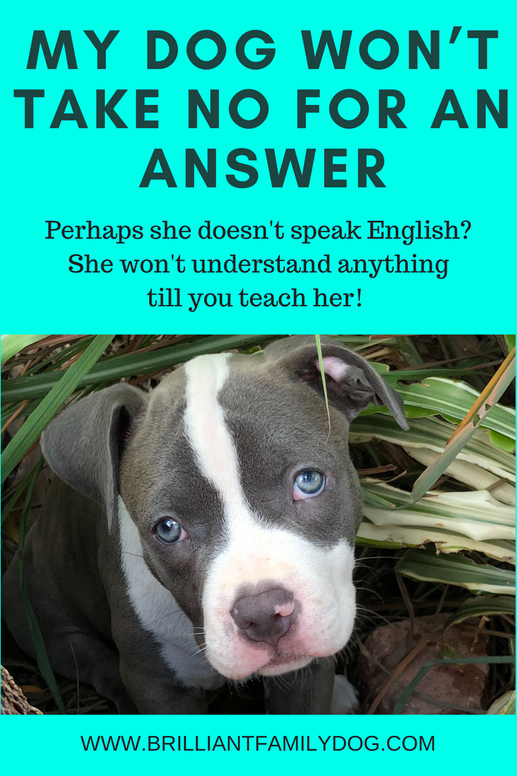 "Are you speaking to your dog in a language she can understand? You have to teach your dog your way of communication before you can expect her to understand and ""obey"" you! 