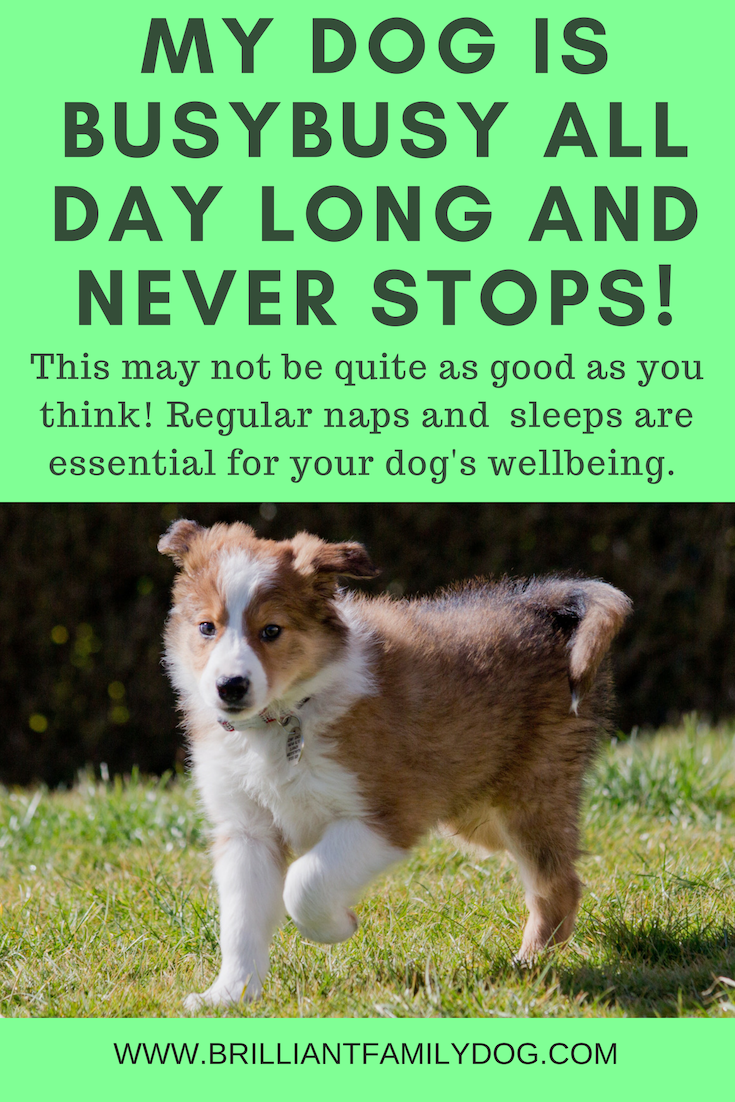 Help! My dog is busybusy all day long. How can I get him to calm down? | FREE BOOK! | #newpuppy, #dogtraining, #newrescuedog, #doghealth, #dogbehavior, #dogsleep, #overexciteddog | www.brilliantfamilydog.com