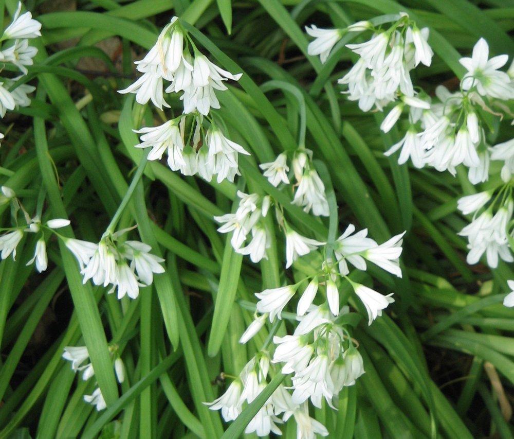 Allium_triquetrum01.jpg