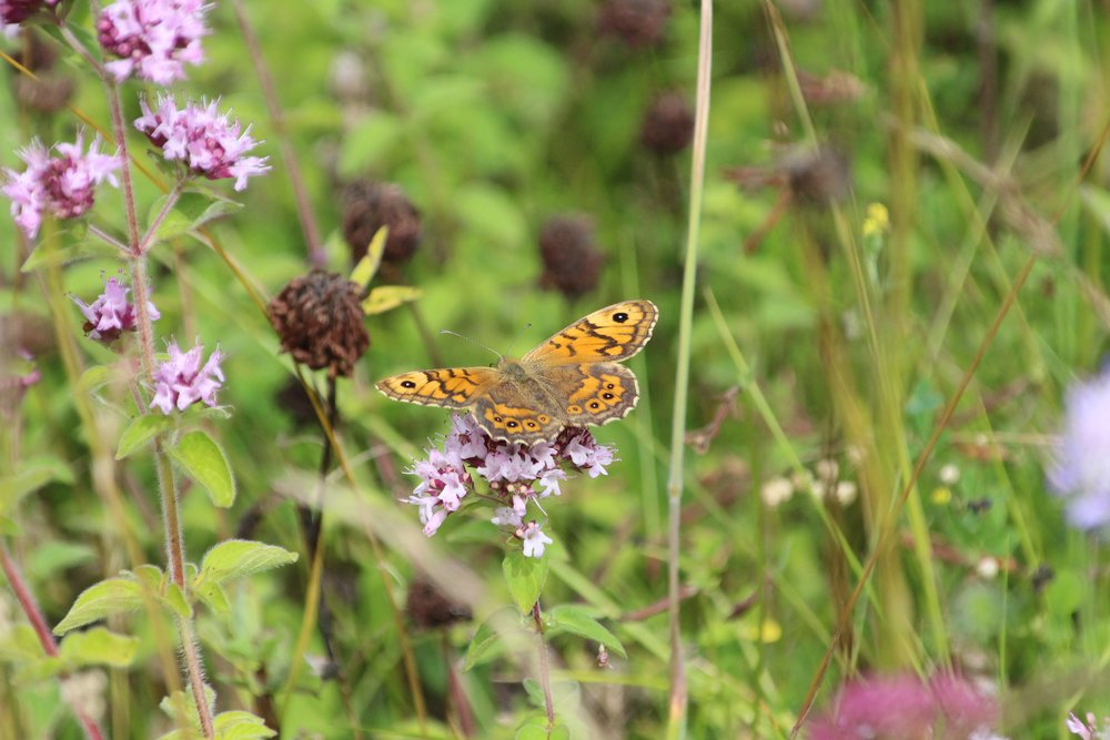 Wall Brown male.jpg