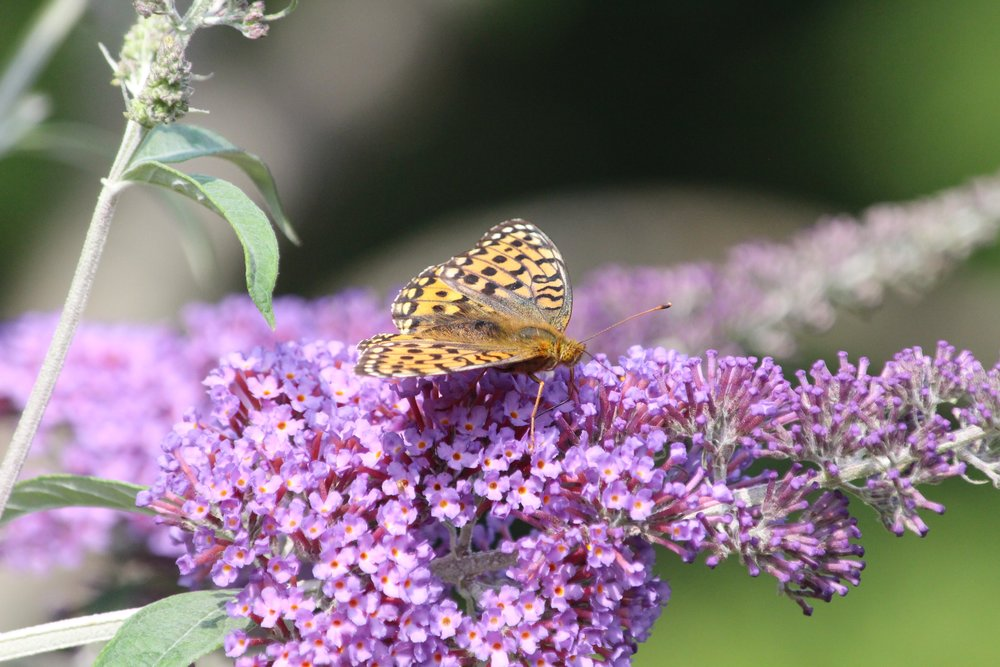 Dark Green Fritillary (?).jpg