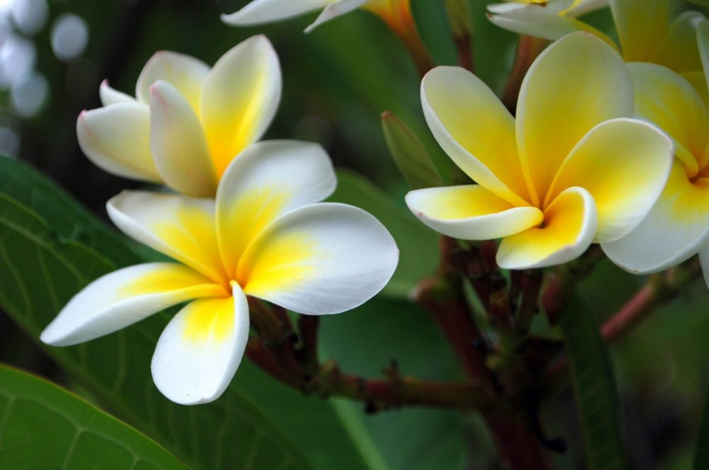 Champaka Thai Massage and spa is named after the Chamaka Flower with is used in massage oil aromatherapy