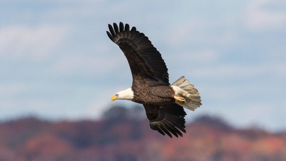 Bald Eagle at Bombay Hook , Scott Alan McClurg