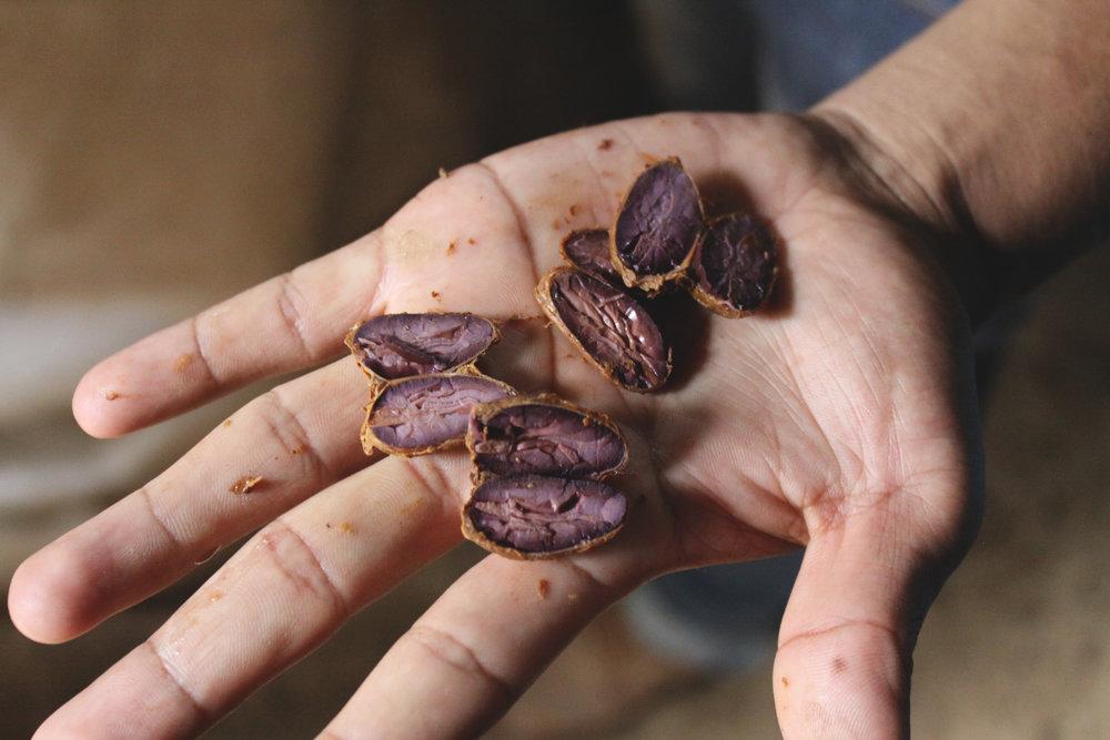 fermentation check at Guatemalan farm @cacaoceremony.jpg