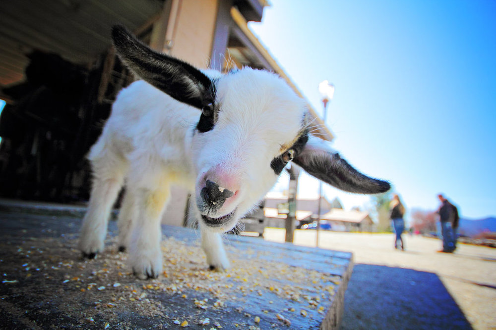 nacho_the_goat_by_kurtywompus-d7bni1o.jpg