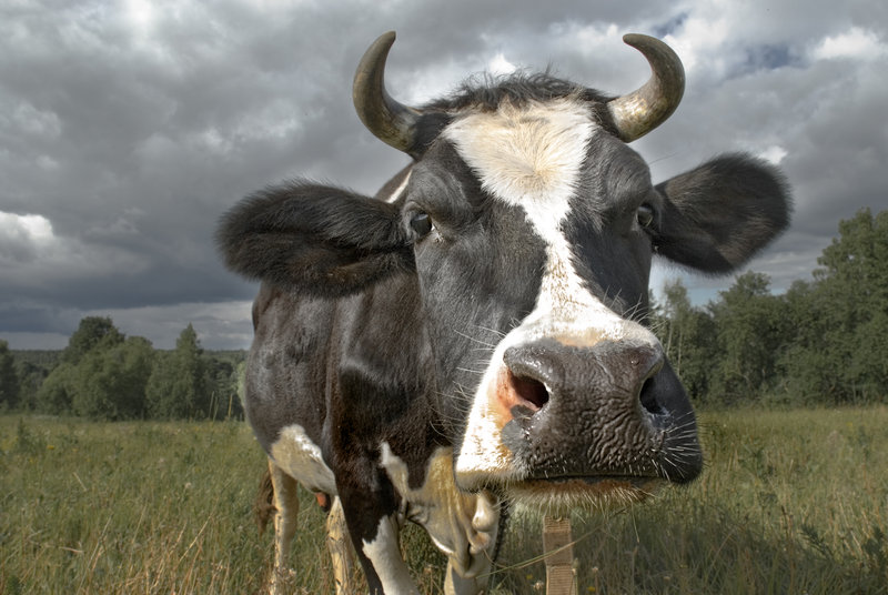cow_by_makzd.jpg