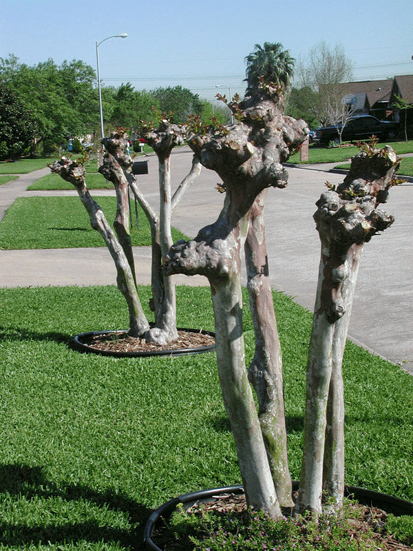 - Crape Murder destroys the natural beauty of the plant. Mature crape myrtles have wonderful smooth and molten bark with graceful shapes. You will never experience this quality if you murder them every spring.This Crape Myrtle fell victim to Crape Murder.