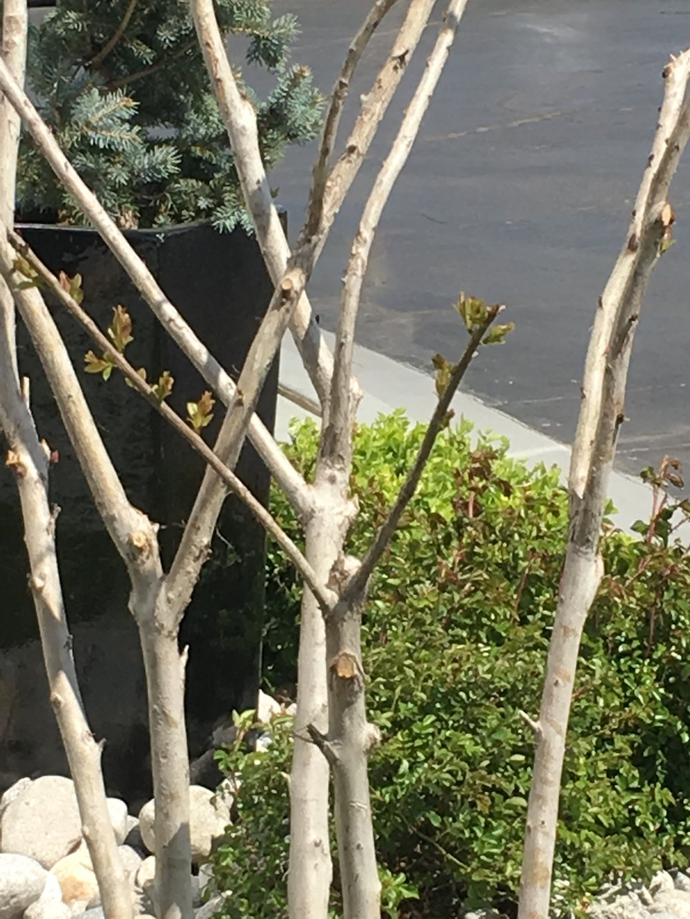 - First leaf buds on a pruned Crape Myrtle in late March.