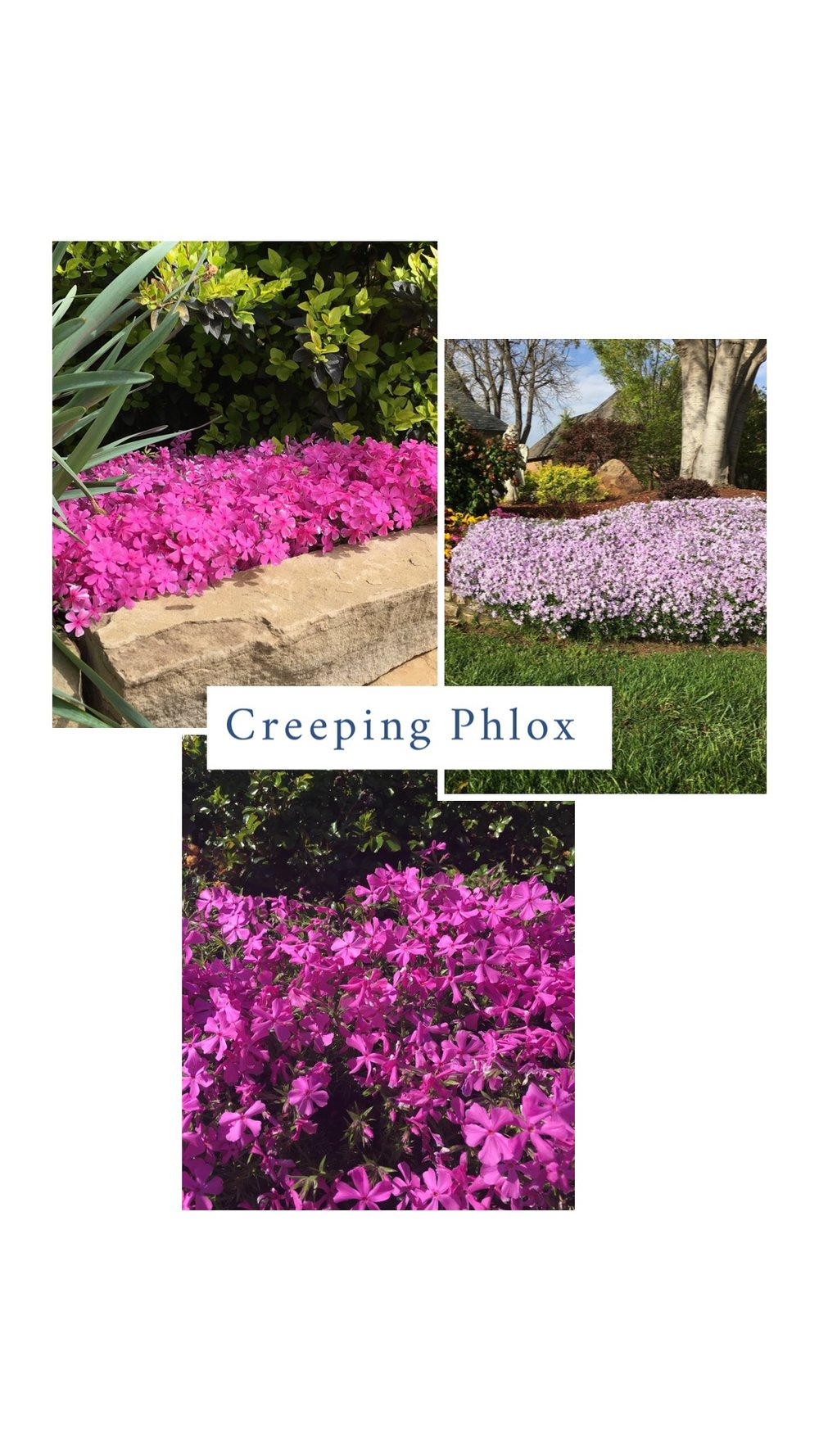 "Creeping Phlox (Phlox stolonifera) . The first to welcome spring each year. Creeping phlox produces a spring-like carpet in pastel hues of white, lavender, red and pink. Creeping phlox is a moderate grower that can spread up to 2' but only reaches 4-6"" in height. It requires full sun, but will tolerate a couple hours of shade each day. Borders, walls, and around boulders are where it looks best. In my garden, you will find it cascading over a rock retaining wall. It tolerates most soils as long as it is well drained. The plant requires little maintenance. Mites are about the only insect problem it will have."