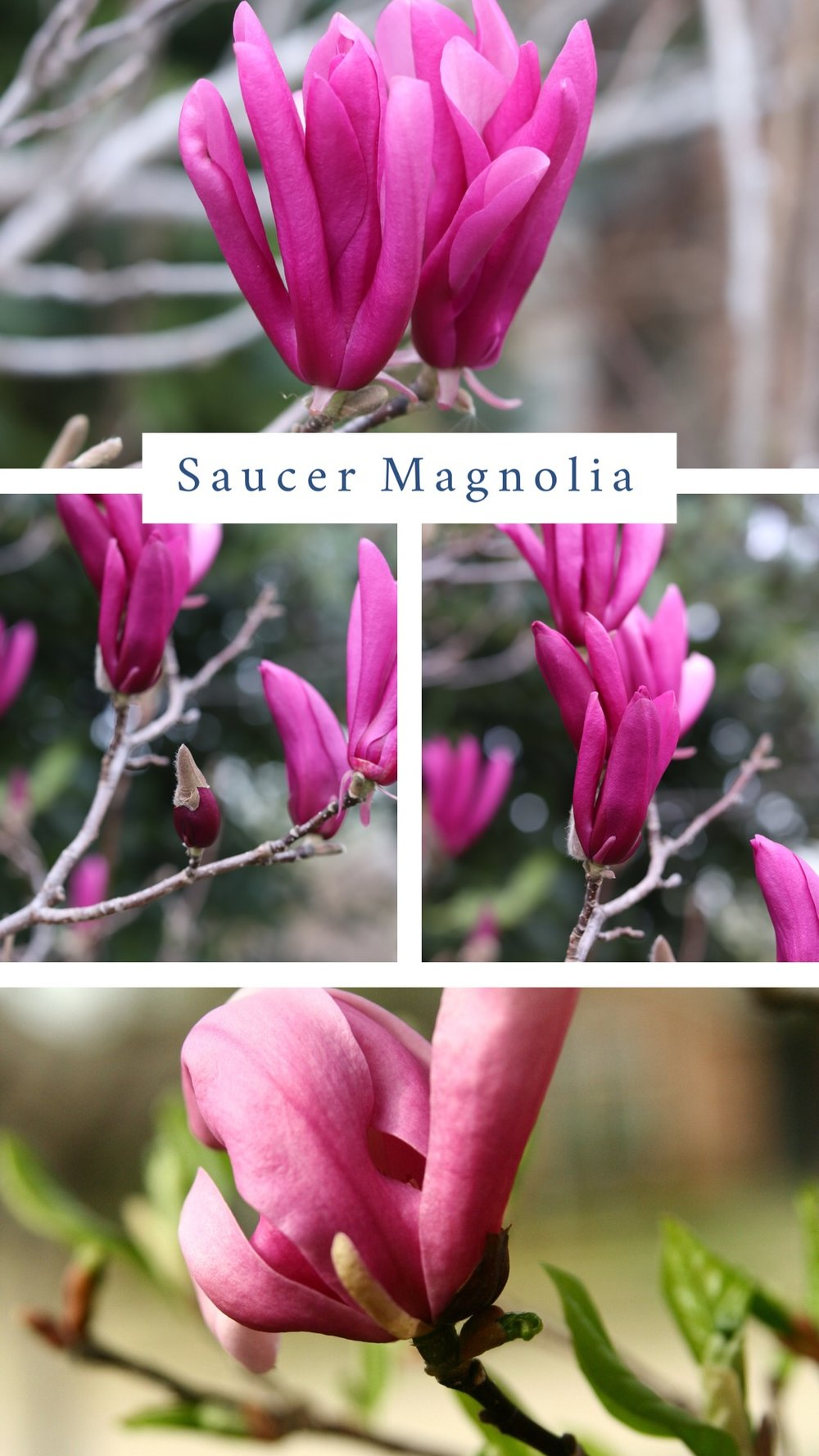 Saucer Magnolia (Magnolia x soulangiana).  A specimen type tree that reaches 15-20'. Large blooms put on a spectacular show on multi-trunk spreading branches. Blooms range from white to pink to purple. Best if planted in full sun. Plant away from radiant west or south heat where warm spring days may cause buds to develop too early only to be killed by a late freeze. They require regular deep watering in the summer months when leaves become tattered looking. It is best if their roots are protected with a layer of mulch to conserve water in the summer.