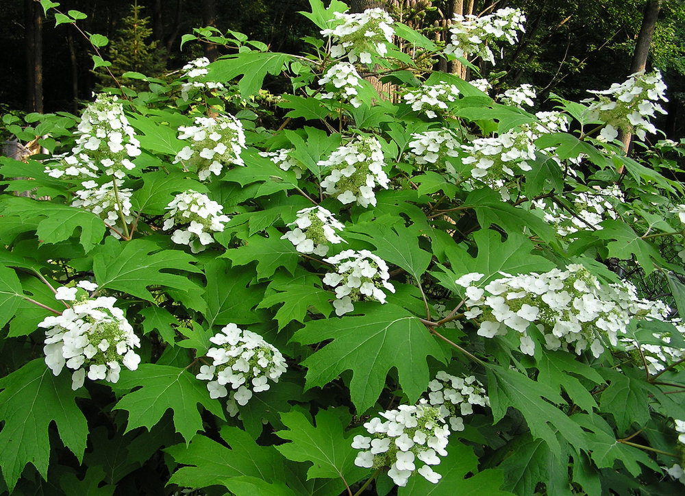 Oakleaf  – Instead of traditional mophead blooms, oakleaf hydrangeas have white clusters of cone shaped flowers.  It is named for the large oak like leaves that turn reddish-purple in the fall.  It is a large shrub that blooms in the summer on new growth.  It also requires less water than a traditional hydrangea.