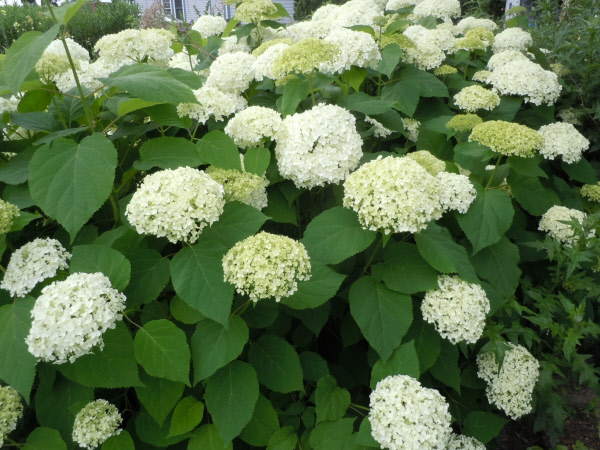 Annabelle  – A smooth hydrangea with white blooms on the new growth. Because it is fast growing, it is common for this hydrangea to be cut all the way to the ground each spring.