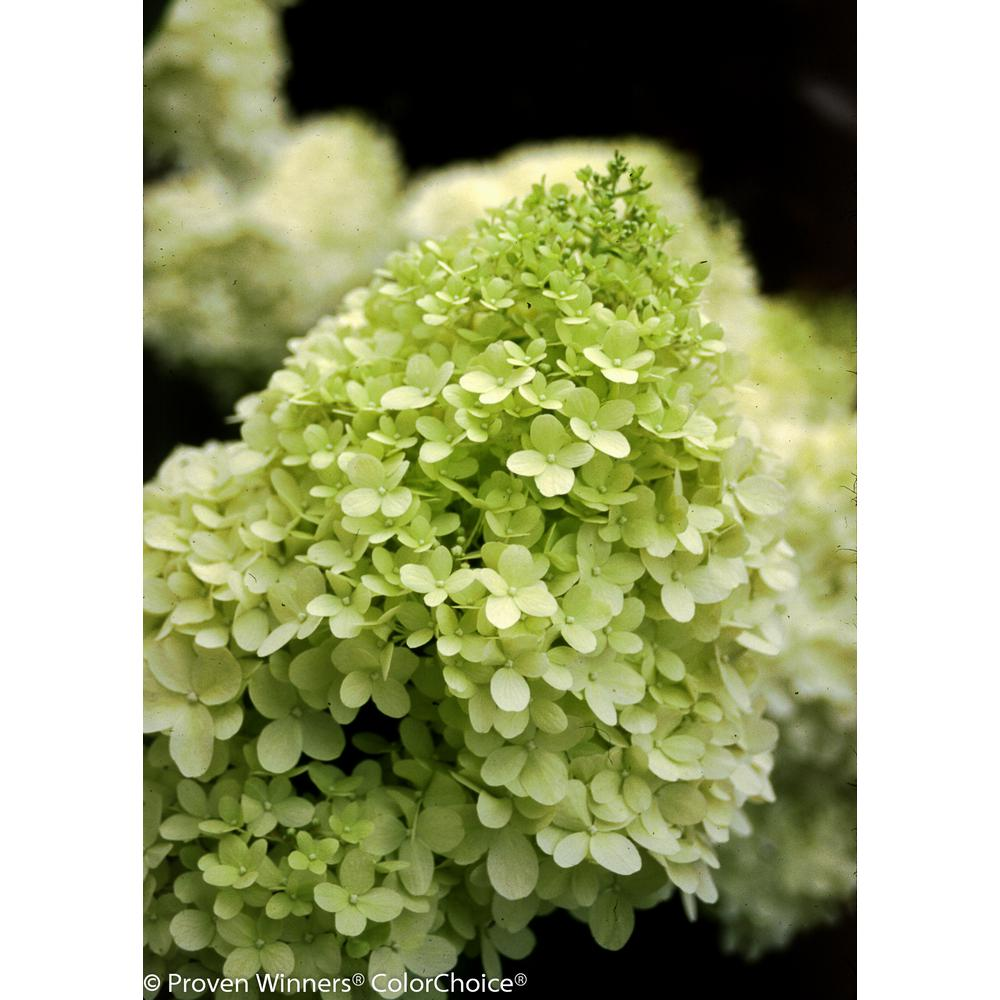 Limelight  – Blooms in mid to late summer on new growth.   Flowers start green, turn to white and then back to green.