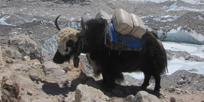 yaks and dzopkyos.jpg