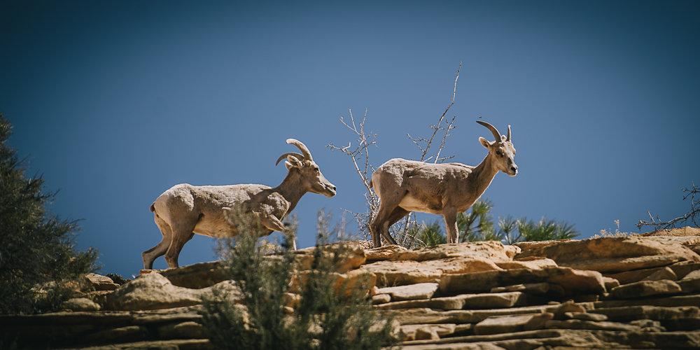 Bighorn Sheep, Utah