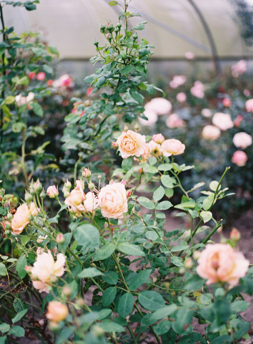 The roses at  Wild Bunch