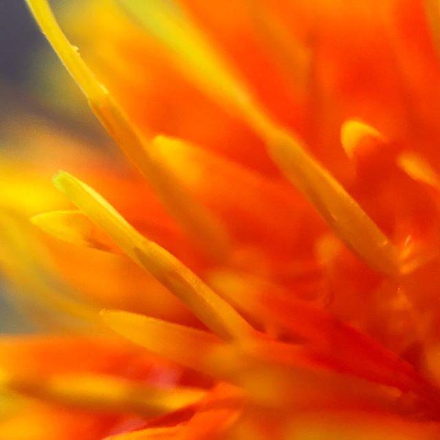 Hallo! From Germany #macrophotography #macrolens #flowers #thesisterhoodofthetravelinglens