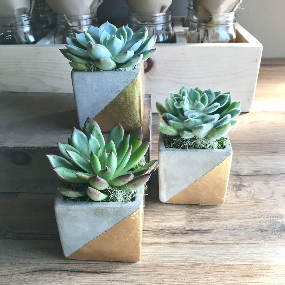 TINY SUCCULENT TRIO - $45 Delivered