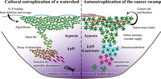 "(Left) Excess nitrogen and phosphorus deposits stimulate the growth of photosynthetic algae, resulting in a characteristic algal bloom. As the algae die off, organic material accumulates and decomposition levels increase, leading to severe hypoxia. These harsh conditions select for efficient anaerobic decomposers. The build-up of the waste product of anaerobic fermentation, carbon dioxide, results in an acidic environment. Ultimately, the severe conditions lead to the local extinction of native species and eventual irreversible ecosystem collapse. (Right) Even in the absence of external stimuli, cancer cells have a high proliferation rate, rapidly expanding to a tumor mass analogous to an algal bloom. As the tumor grows, it quickly outstrips its vascular supply, resulting in a hypoxic microenvironment. To survive, the cancer cells alter their metabolism to utilize relatively inefficient anaerobic glycolysis, exhausting available nutrient sources. The accumulation of lactic acid, the waste product of anaerobic glycolysis, results in an acidic microenvironment. Ultimately, the harsh ""cancer swamp"" selects for highly lethal cancer superclones. Simultaneously, the toxic conditions lead to increased rates of necrosis, extinction of native host cell types, and eventual organ failure.   Oncotarget. 2015 Apr 30; 6(12): 9669–9678."