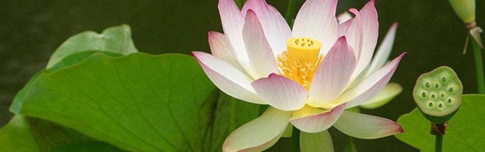 Lotus Banner 2.jpg