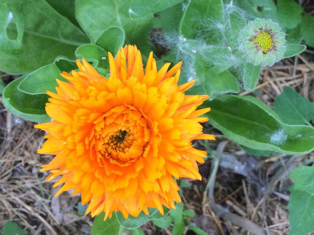 calendula-flower.jpg