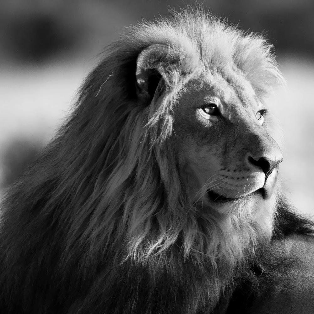 majestic lion 2.jpg