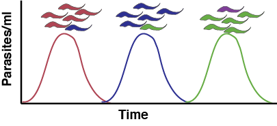 Antigenic variation leads to waves of parasitemia as each variant is recognized.