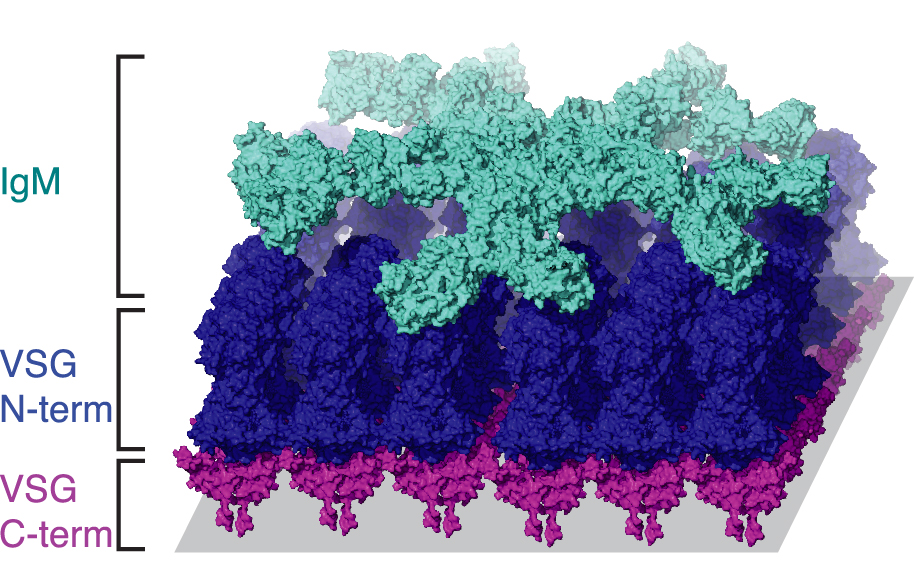 A hypothetical model of IgM antibody (teal) binding to VSG (pink and blue).