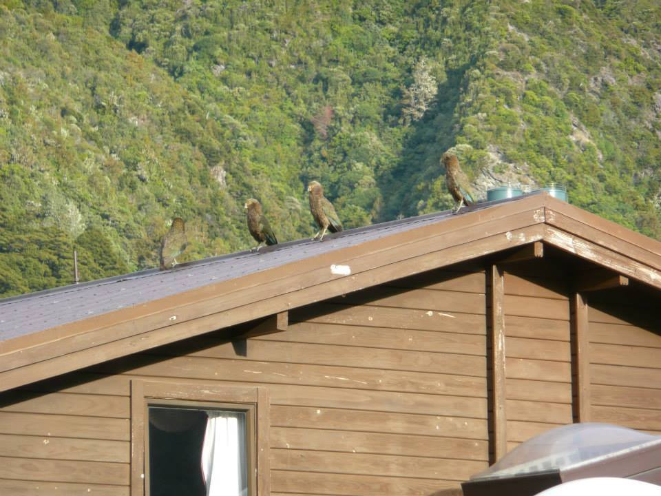 Keas on the roof of the hostel at Mt Cook
