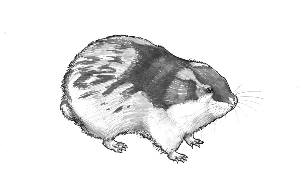 Lemming_cropped.jpg