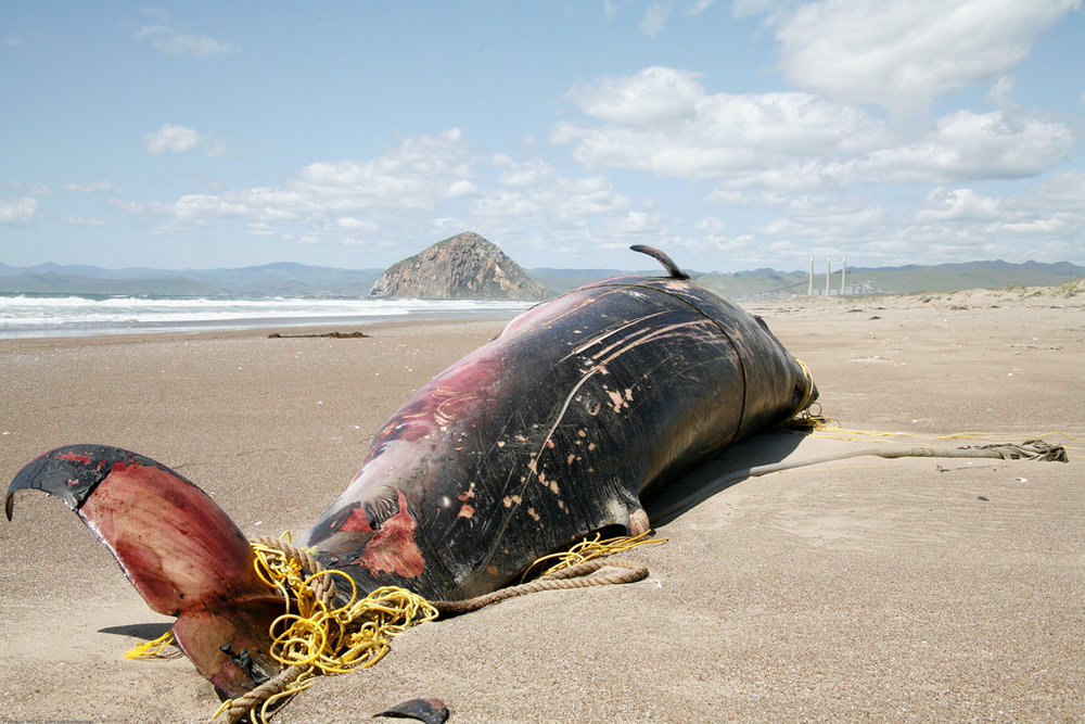 Ensared Minke Whale