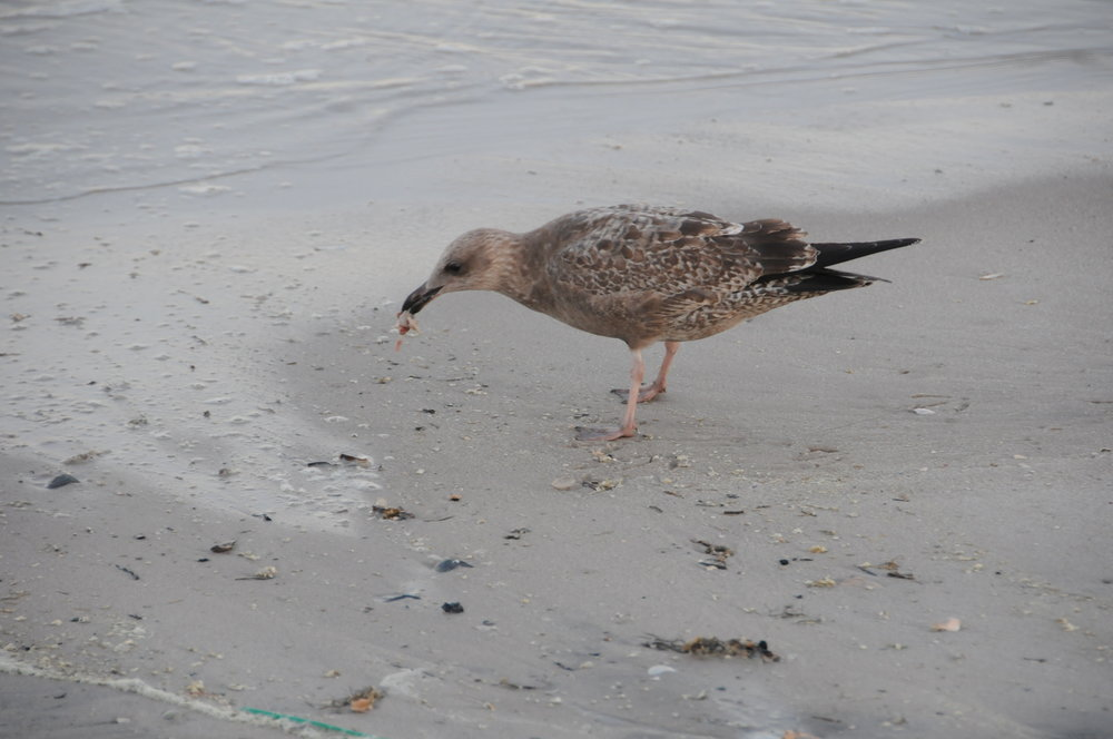 Seagull eating a bit of plastic during one of our surveys. (Courtesy of Morris Enyeart)