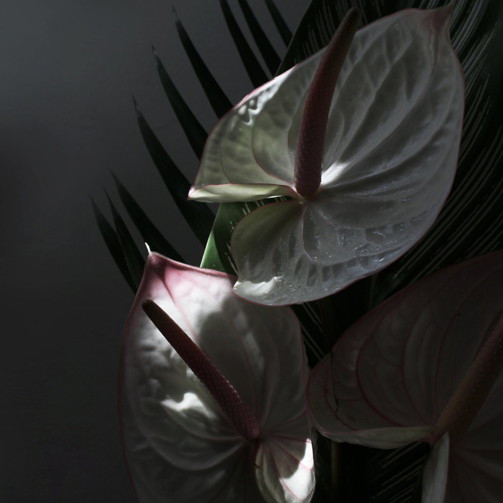 Anthurium Mood