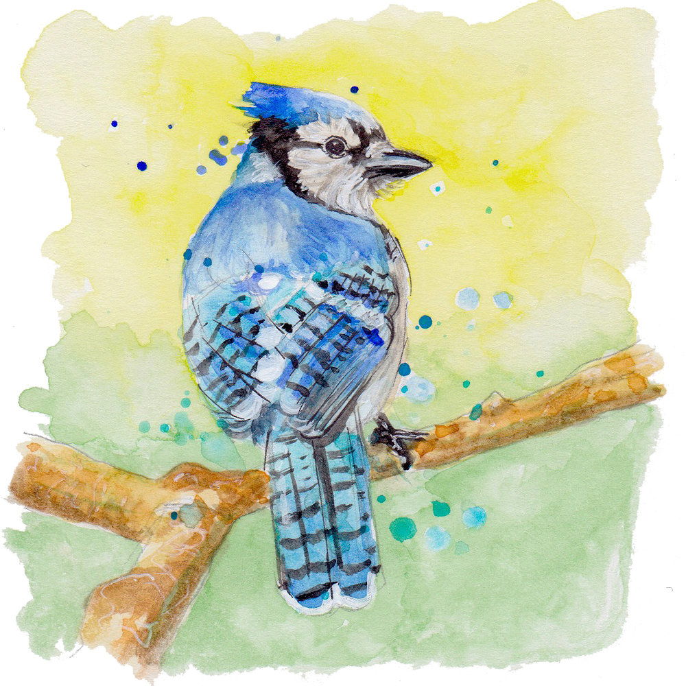 Nature bluejay transparent.jpg