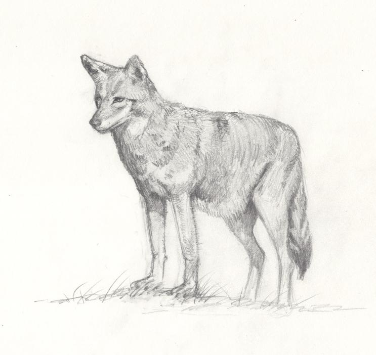 Coyote_lo.jpeg