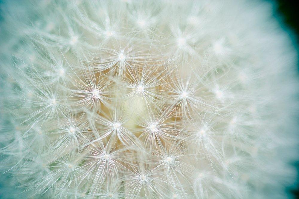 dandelion-1423174_1920.jpg