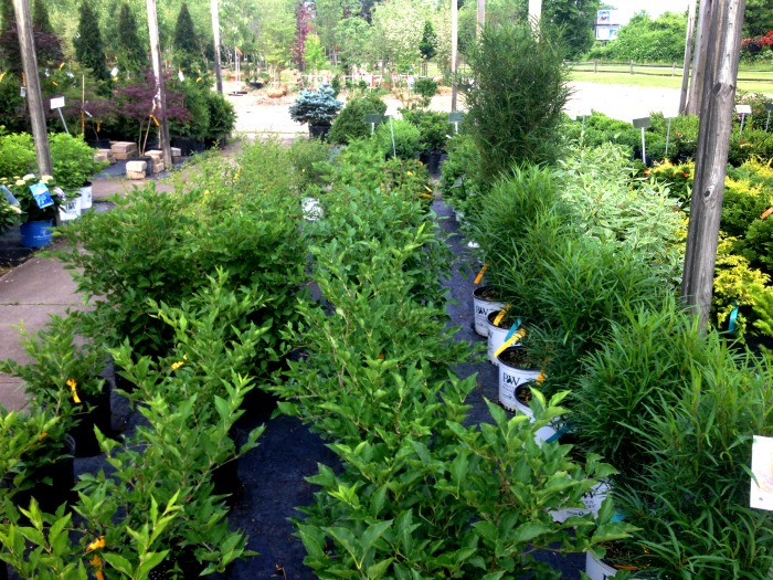 Fineline Buckthorn Shrubs